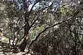 Quercus alnifolia kz8.jpg