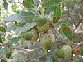 Quercus coccifera acorns 2.jpg