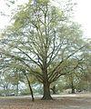 Quercus hemisphaerica (24151525185).jpg