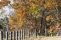 Quercus serrata(2) (23520116483).jpg