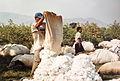 Récolte du coton à El Carmen - Pérou 02.JPG