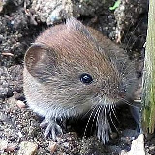 Bank vole species of rodent