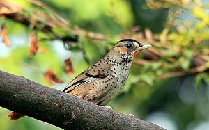 Rufous-chinned laughingthrush - Garrulax rufogularis at Dehradun, India.