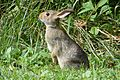 Rabbit in Field.jpg