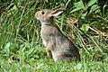 Rabbit in Field.jpg
