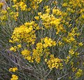 Rabbitbrush dark gold flowers.jpg
