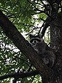 Raccoon at Mount Royal Park - Montreal.jpg