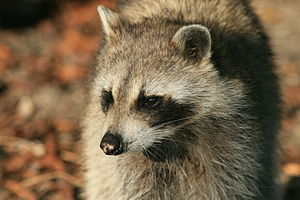 Portrait of a raccoon. the picture was taken i...