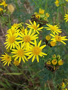 220px-Ragwort_and_caterpillars%2C_Crouch