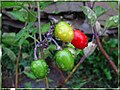 Rain Drops on Vine Berries (9393261790).jpg