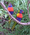 RainbowLorikeet.jpg