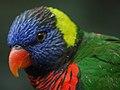 Rainbow Lorikeet Trichoglossus haematodus Closeup 2400px.jpg