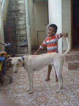 Rajapalayam dog with kid