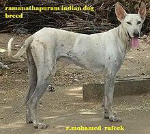 File:RAMANATHAPURAM SAMBAL INDIAN DOG BREED jpg - Wikimedia Commons