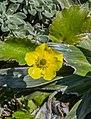 Ranunculus haastii in Lewis Pass Scenic Reserve 04.jpg