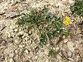 Ranunculus repens sl6.jpg