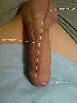 Vistas laterales profesionales de un pene