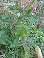 Rapistrum rugosum leaf1 (14945663595).jpg