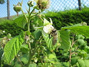 Raspberry in flower in a garden