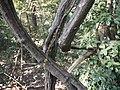 Ravnito vatoli vetyel (in Konkani) (4353623036).jpg