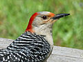 Red-bellied Woodpecker RWD4.jpg