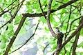 Red-bellied woodpecker (19730101716).jpg