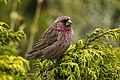 Red-mantled Rosefinch - Almaty - Kazakistan S4E4053 (23051167291).jpg