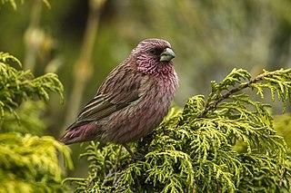 Red-mantled rosefinch species of bird