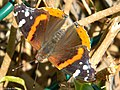 Red Admiral (4606931731).jpg