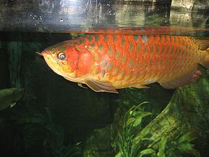 Asian arowana - Super red arowana in a public aquarium