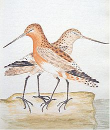 Watercolour illustration of red godwit by William Markwick