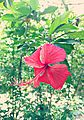 Red Hibiscus (1).jpg