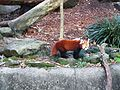 Red Panda in Taronga Zoo (4).jpg