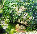 Red Rock Crab shelter - Flickr - brewbooks.jpg