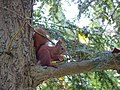 Red Squirrel eating nut on a tree.jpg