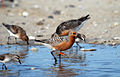Red knot FWS 9763.jpg