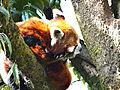 Red panda..JPG
