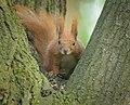 Red squirrel (33885663048).jpg