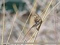 Reed Bunting (Emberiza schoeniclus) (51305665174).jpg