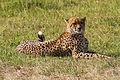 Resting Cheetah.jpg