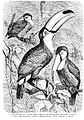 Rhamphastus tucanus from Brockhaus Efron.jpg