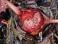 Rheum palmatum bud - Flickr - peganum.jpg