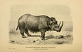 Rhinoceros Tichorhinus .jpg