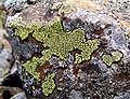 Rhizocarpon geographicum01.jpg