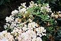 Rhododendron catawbiense Album 4zz.jpg