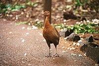 Rhynchotus rufescens -Parque das Aves-8b