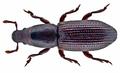 Rhyncolus ater (Linné, 1758) Syn.- Rhyncolus chloropus (Linné, 1758) (15194609467).png