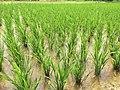 Rice Field Jiangxi.jpg