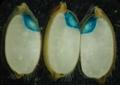Rice embryo.png