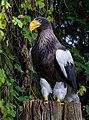 Riesenseeadler Walsrode 2014 02.jpg